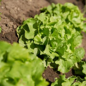 Salat Ernte Garten Waller Brauner Hirsch